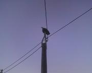 Bald Eagle_01