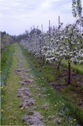 Pruning Old Fruit Trees, with a Focus on Apples and Pears
