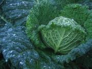 Plan your Winter Vegetable Garden Now!
