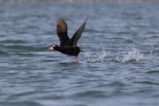 "Free educational series: ""Marine Birds of the Salish Sea"""