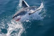 Witte haai, Kleinbaai, Zuid-Afrika