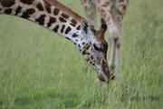 Grazende giraffe