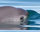 Sophomore Assignment: Save the World's Most Endangered Marine Mammal