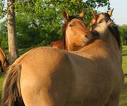 302_Horses-MustangsGrooming3A