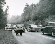 Bear jam on road from Newfound Gap to Clingman's Dome, from Jim Coman collection