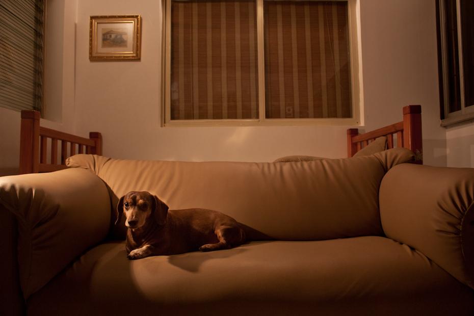 Un perro salchicha