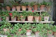 Geraniums - Tuscany
