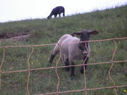 My neighbor, the sheep