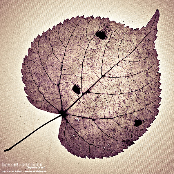 Blatt #1 / leaf #1