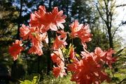 Joe's rhododendan