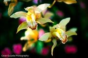Orquideas - Flor Nacional