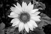 Girasol, el Jardín de mi madre