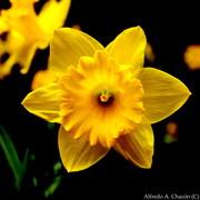 Narciso amarillo, primavera Central Park NY