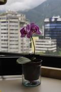 Orquidea en Caracas
