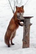 Räven