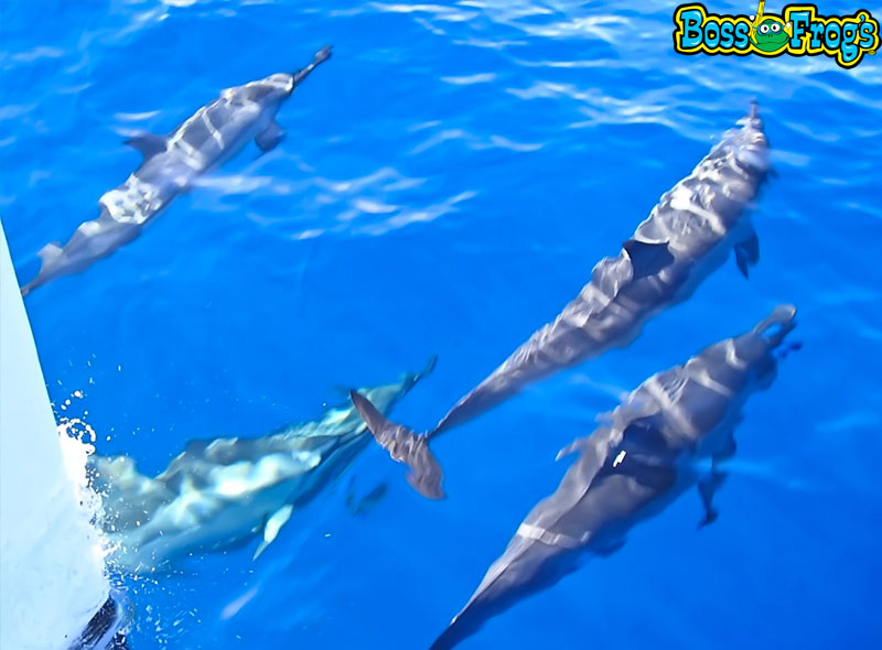 Dolphins off bow of the Frogman II