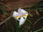 a flor q avisa quando irá chover...
