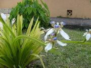 Orquídia da Terra
