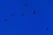 BALÉ DE URUBUS movimento 16 (morte do cisne) web