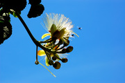 Flor do pequizeiro ablh
