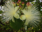 Flor de Pequi (MG)