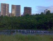 Garças no Parque Ecológico do Cocó, em Fortaleza - Ceará