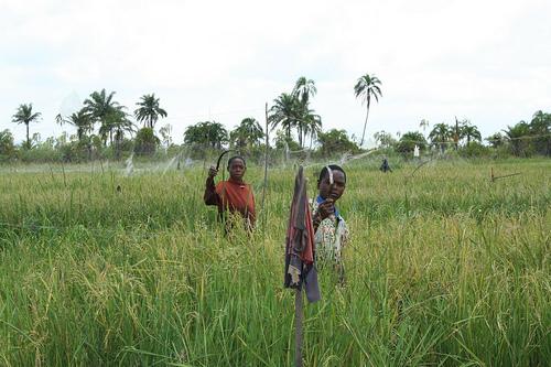 Upper Dam: boys at work harvesting