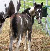Diamond Jim's Starbuck Filly 2011 at 9 days...
