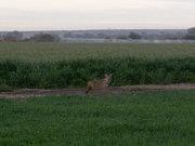 Coyote en triticale