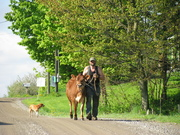 Steve leading a heifer out to pasture