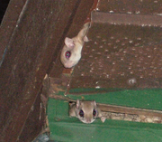 FlyingSquirrels