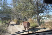 The steer has the right of way ALWAYS