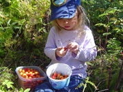 Cleaning rosehips in the field