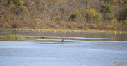 heron and egrets, at the marsh