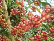 La cereza del café
