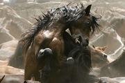 08 Horses fight during the Rapa das Bestas event in Mougas, Spain - Week-in-wildlife-Horses-f-010