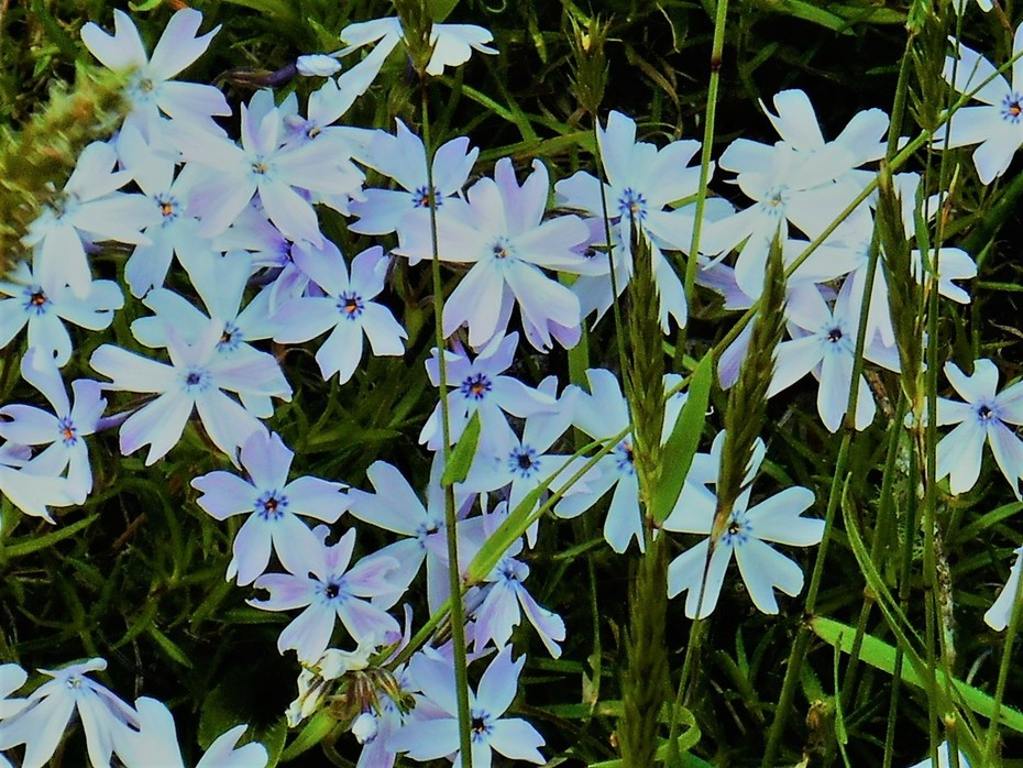 BEAUTIFUL BLUE DITCH WEED