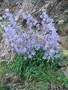 zvonek sarmatský (campanula sarmatica)