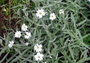 rožec Biebersteinův (cerastium biebersteinii)