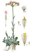 kociánek dvoudomý (antennaria dioica) --- ilustrace