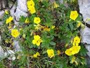 devaterník obecný (helianthemum nummularium glabrum)