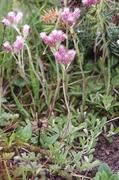 kociánek dvoudomý (antennaria dioica)