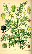 jalovec (juniperus communis)