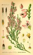 vřes obecný (calluna vulgaris) --- ilustrace