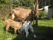 Náš kozí mini chov