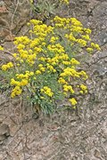 tařice (alyssum saxatile)