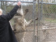You evr wanted to know how big a wolf was?