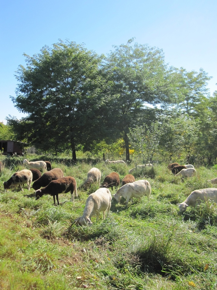 3.2 Heifer silvopasture