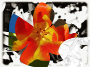 tulip0060sx