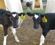 Cows & Calves 9-2009 010